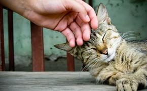 Обои кошка, рука, домашнее животное, гладить, кот