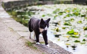 Обои идет, вода, пруд, кот