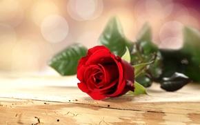 Обои роза, красная, цветок, лепестки, стол