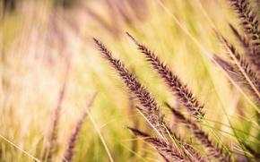 Картинка трава, колоски, боке