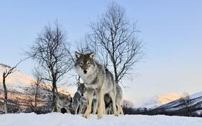 Картинка зима, взгляд, Волк