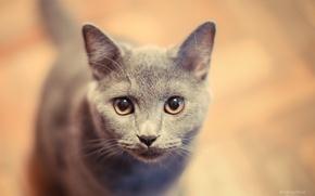 Картинка кошка, кот, котенок, британец, русский голубой