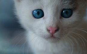 Картинка кошка, кот, усы, морда, мордочка, котёнок, голубые глаза