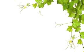 Картинка зелень, листья, ветки, белый фон, крупным планом