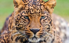 Картинка усы, взгляд, морда, леопард, leopard, красивый, большая пятнистая кошка, panthera pardus
