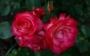 Картинка красные, red, Розы, rose, бутоны