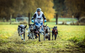 Картинка собаки, спорт, упряжка