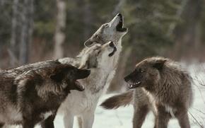 Картинка стая, волки, воют