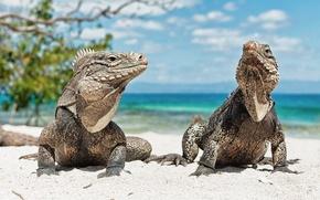 Обои животные, пляж, Игуана, ящерица, куба, Iguana