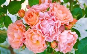Обои розы, бутончики, лепестки