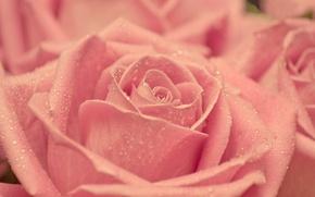Обои капли, макро, розовая, нежность, роза, красота, лепестки, размытость, бутон