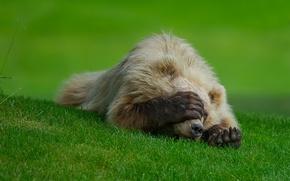 Картинка трава, лапа, стыд, медведь, когти, лужайка, бадун