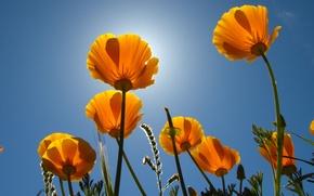 Обои небо, солнце, цветы, стебли, бутоны