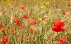 Картинка поле, цветы, маки, колосья