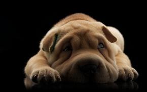 Картинка собака, шарпей, щенок