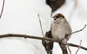 Картинка зима, фон, птица, ветка, воробей