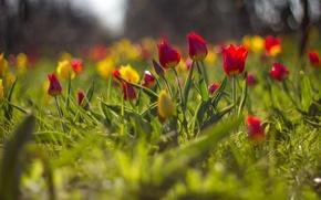 Картинка цветы, размытость, тюльпаны