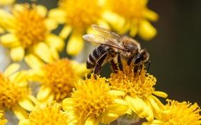 Картинка цветы, пчела, насекомое