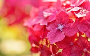 Обои цветки, макро, гортензия, боке