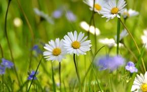 Обои поле, белый, лето, ромашки, луг, полевые цветы