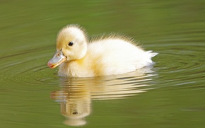 Картинка вода, птица, детёныш, утёнок, утка