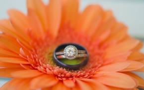 Картинка цветок, кольцо, гербера, обручальное