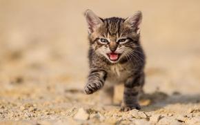Картинка песок, кот, природа, котенок, серый, земля