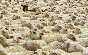 Картинка Майн-Шпессарт, Германия, отара, овцы, Бавария, коза