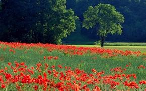 Обои поле, луг, деревья, трава, цветы, маки
