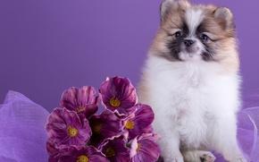 Обои цветы, шпиц, милый