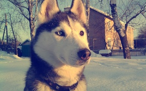 Картинка Хаски, взгляд, зима, снег, глаза, обои