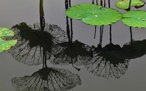 Картинка вода, отражение, Китай, Шанхай, листья лотоса