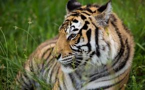 Картинка тигр, отдых, хищник, профиль, дикая кошка