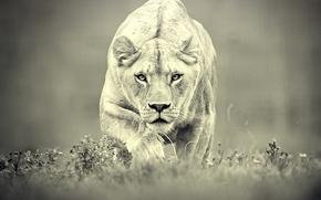 Обои хищник, охота, львица