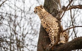 Картинка дерево, хищник, гепард, дикая кошка, наблюдение