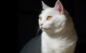 Картинка кошка, белый, кот, тень, мордочка