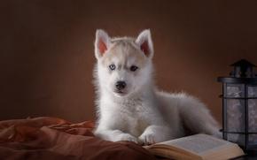 Обои хаски, щенок, глаза, книга, фонарь