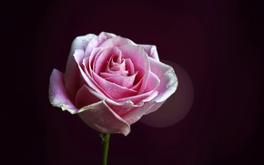 Картинка бутон, фон, цветок, роза, лепестки, розовая, стебель, капли