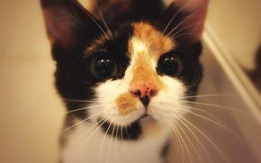 Картинка животные, мордочка, смотрит, кошки
