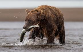 Картинка река, рыбалка, рыба, медведь, улов, форель