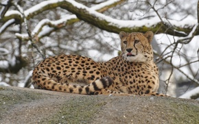 Обои камень, отдых, гепард, дикая кошка, зима