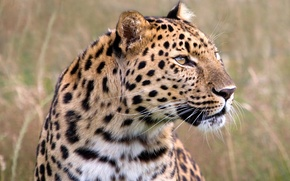 Обои леопард, взгляд, охота