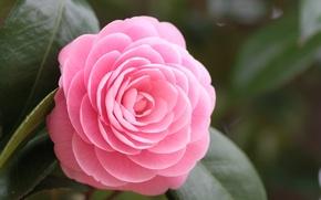 Картинка цветок, листья, макро, розовый, лепестки, Камелия