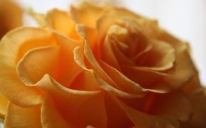 Картинка цветок, макро, желтый, роза, лепестки