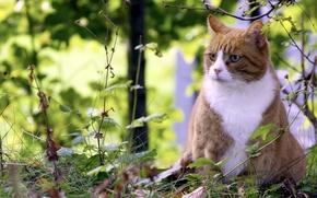 Обои лето, природа, кот