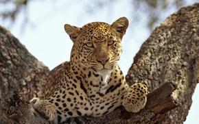 Обои кошка, взгляд, хищник, леопард