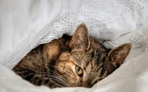 Картинка взгляд, широкоэкранные, cat, HD wallpapers, обои, eye, зверь, полноэкранные, background, fullscreen, кошка, лежит, beast, широкоформатные, ...