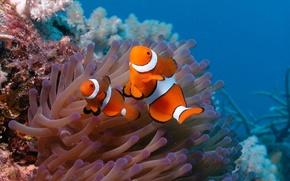 Картинка рыбки, океан, две, дно, рыба-клоун