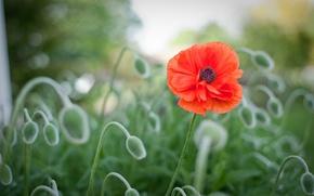 Картинка цветок, макро, красный, поляна, размытость, Мак