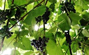 Картинка фиолетовый, веточки, виноградик